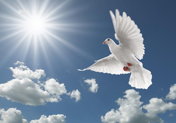 和平鸽子图片,动物图片,飞禽世界图片,飞禽,鸽子,和平