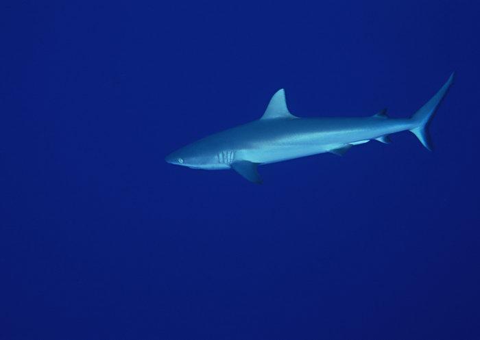 鲨鱼图片,鲨鱼,海底世界,摄影,海底生物,2950x2400像素