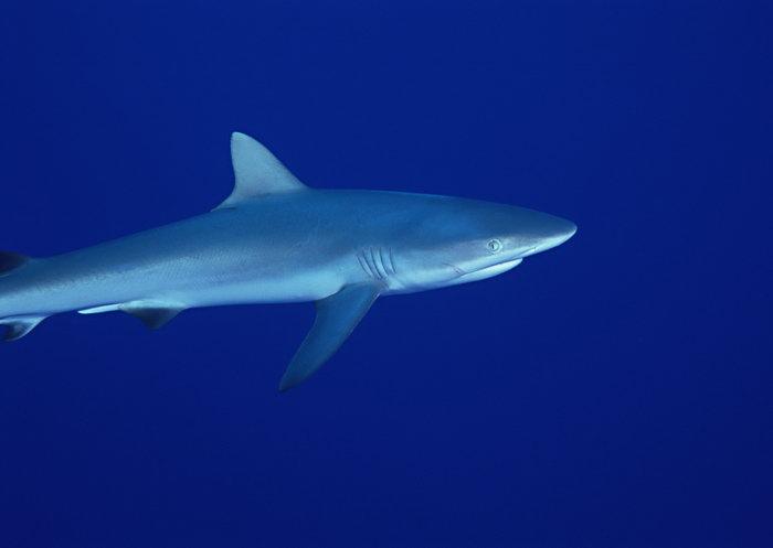 晰鲨鱼图片,晰鲨鱼,海底世界,摄影,海底生物,2950x2400像素