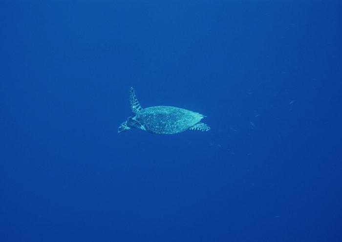 海龟图片,海龟,海底世界,摄影,海底生物,2950x2400像素