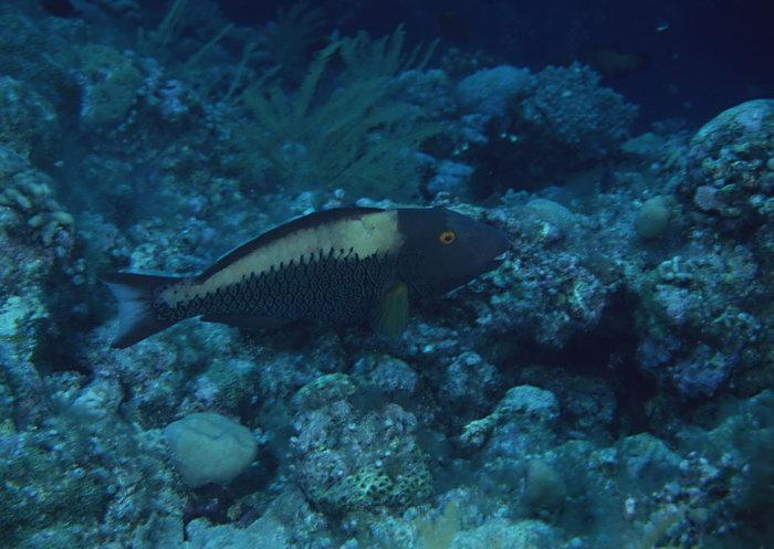 深海鱼图片,深海鱼,海底世界,摄影,海底生物,2950x2400像素