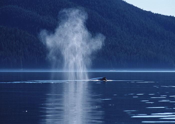 喷水鲸鱼图片-素彩图片大全