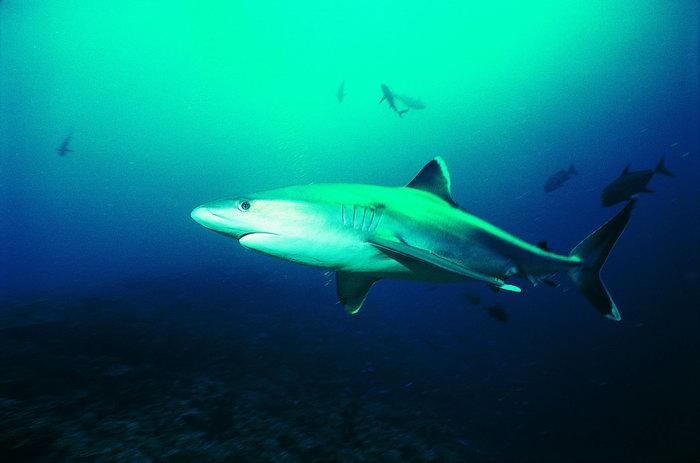 大鲨鱼图片-素彩图片大全