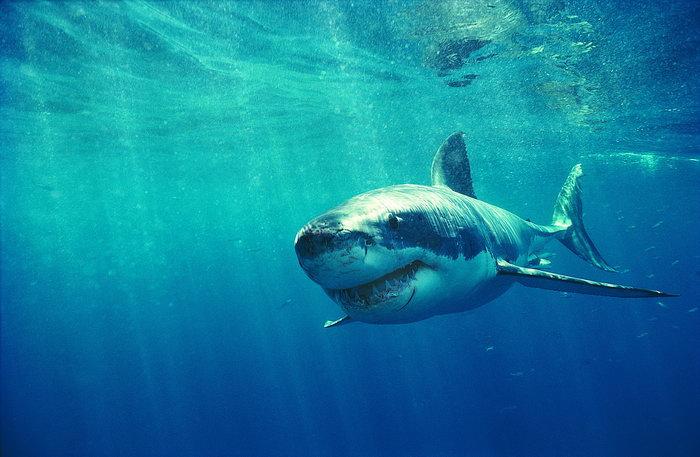 鲨鱼海洋动物图片-素彩图片大全