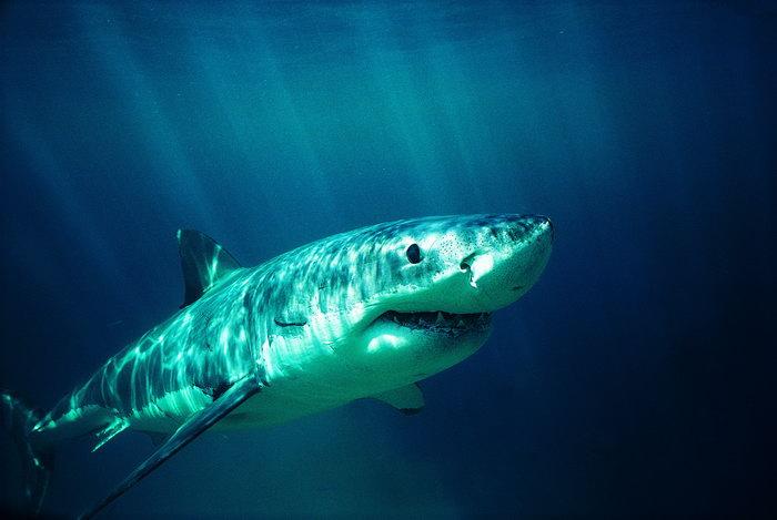 鲨鱼图片-素彩图片大全