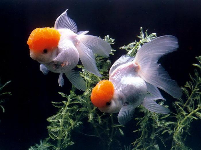 金鱼图片-素彩图片大全