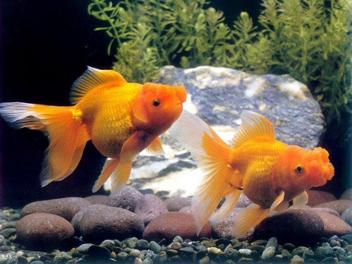 可爱的小金鱼图片