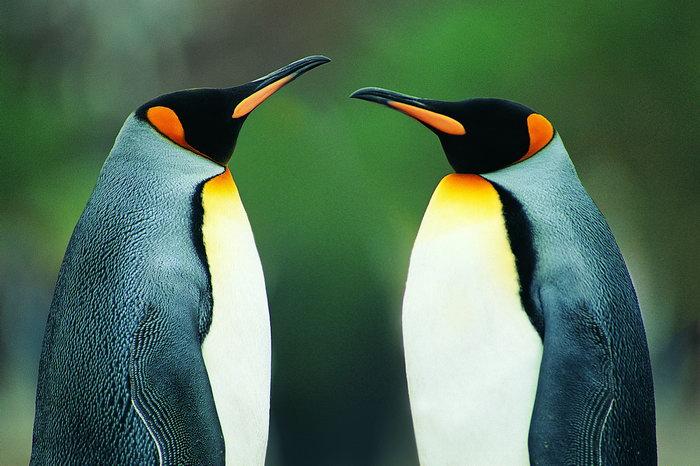 南极动物企鹅图片