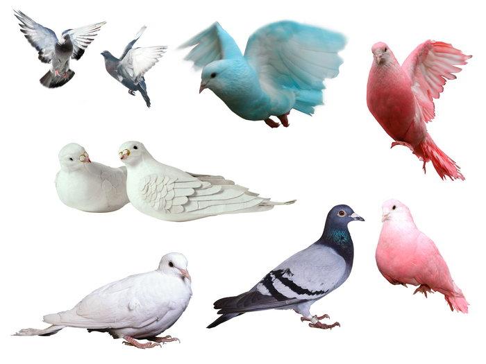 鸽子图片,鸽子,飞行鸟类,摄影,动物,设计,4724x3543像素