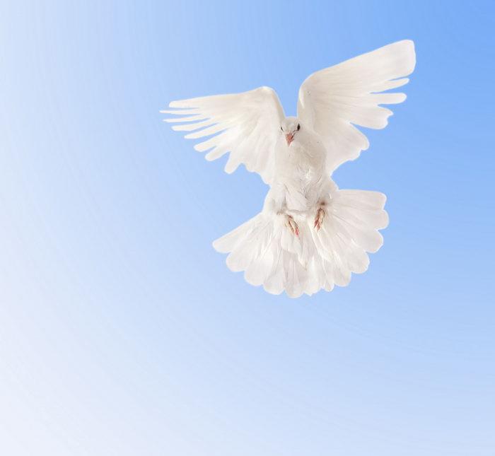 鸽子飞翔图片,晰鸽子飞行鸟类,摄影,动物,设计,2900x2672像素