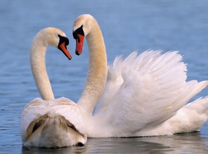 天鹅图片,晰天鹅湖水,飞行鸟类动物,摄影,动物,1600x1185像素