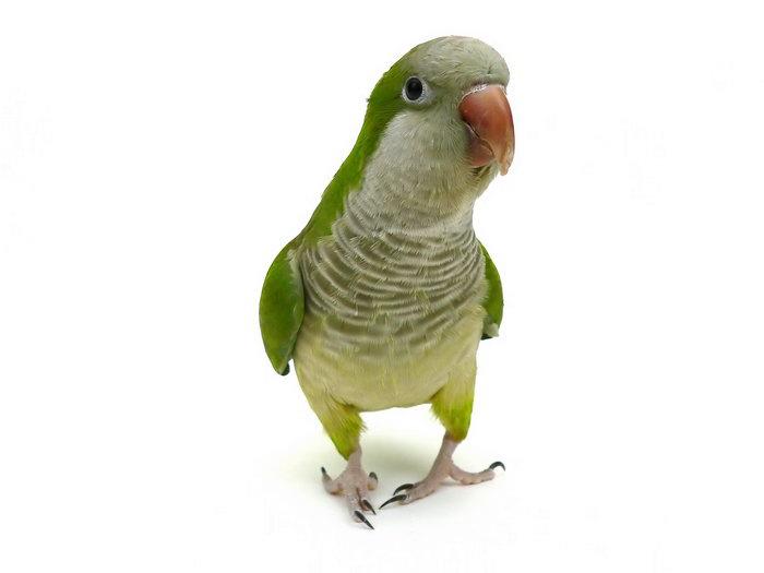 鹦鹉图片,鹦鹉,飞行鸟类动物,摄影,动物,3840x2880像素