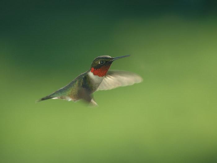 蜂鸟图片,蜂鸟,飞行鸟类动物,摄影,动物,1600x1200像素