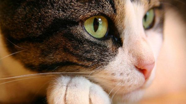 可爱小猫近景照-素彩图片大全