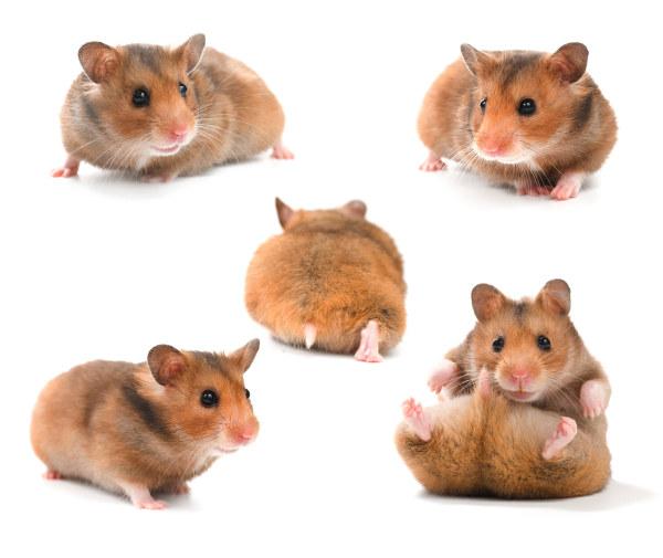 可爱的龙猫图片,龙猫,动物,老鼠