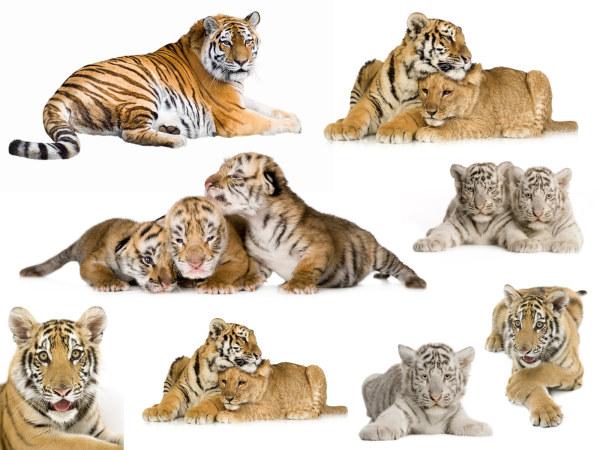 老虎图片2-素彩图片大全