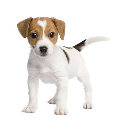 可爱的小狗写真图片8-素彩图片大全