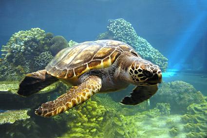 海龟图片,海龟,海洋生物,动物,精美,印刷适用,创意