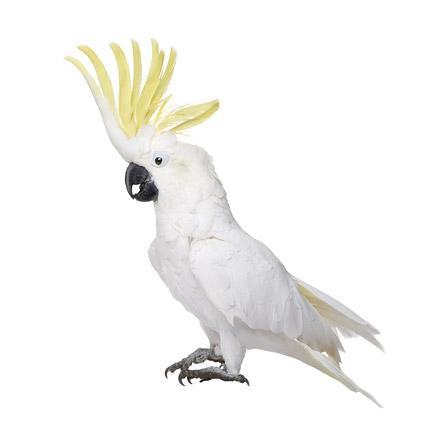 白底鹦鹉图片2