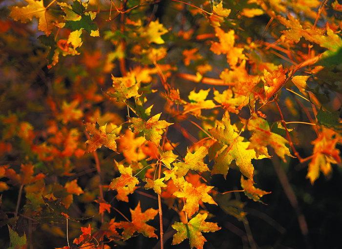 黄色树叶图片-素彩图片大全