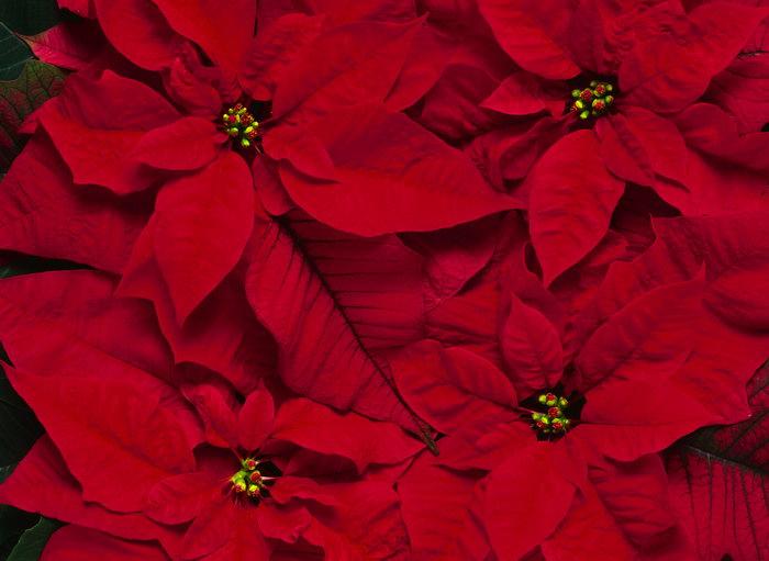 红色叶子植物图片