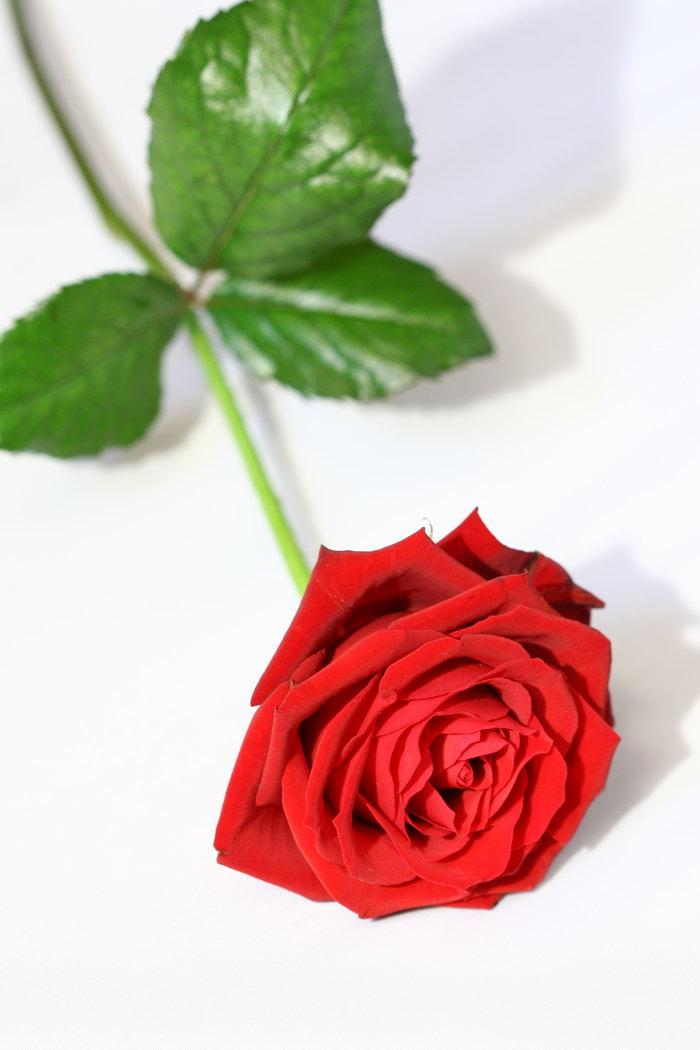 红色玫瑰花图片,红色玫瑰花,花朵,鲜花,摄影,植物,3504x2336像素