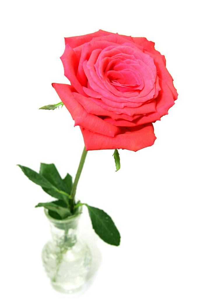 一支玫瑰花图片-素彩图片大全