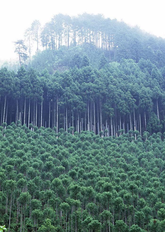 杉木树林图片-素彩图片大全