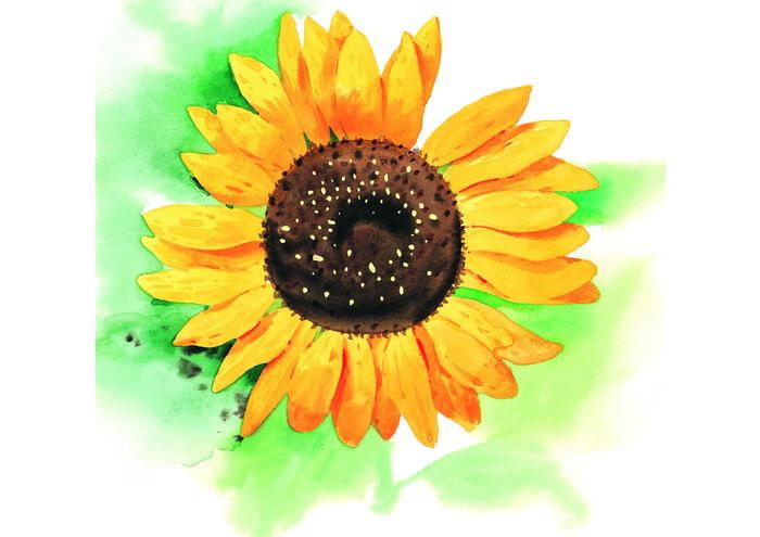 水彩风格向日葵图片
