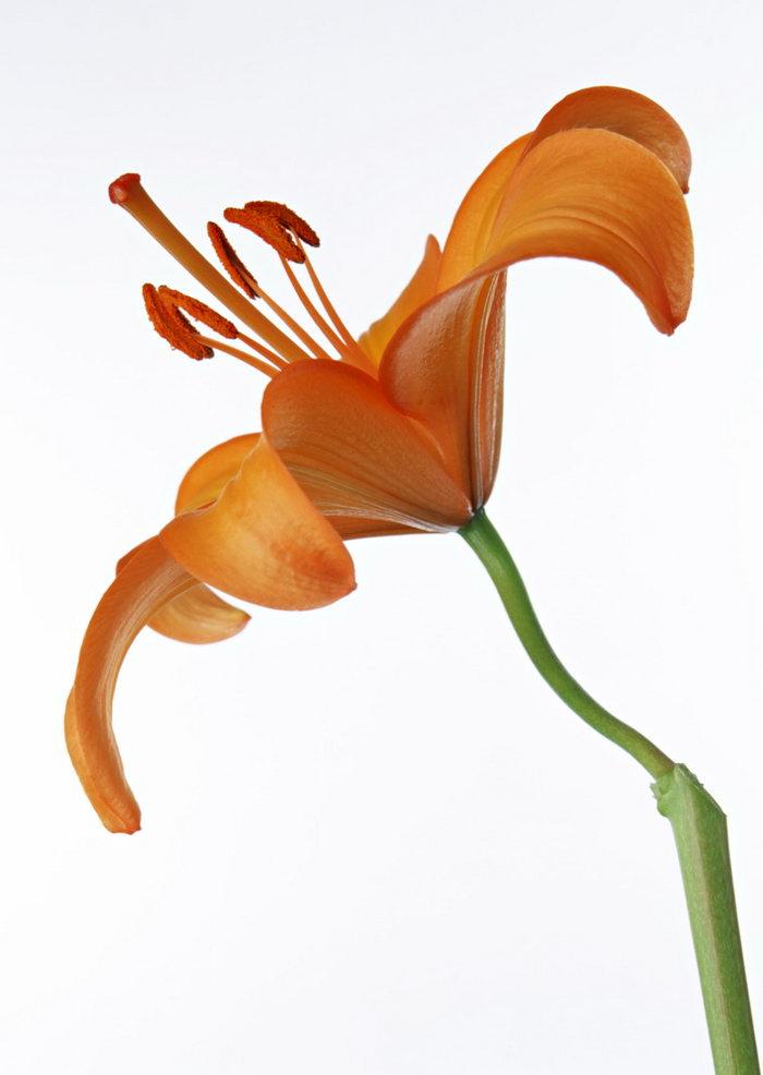 百合花图片-素彩图片大全