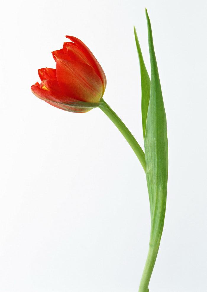 郁金香花图片-素彩图片大全