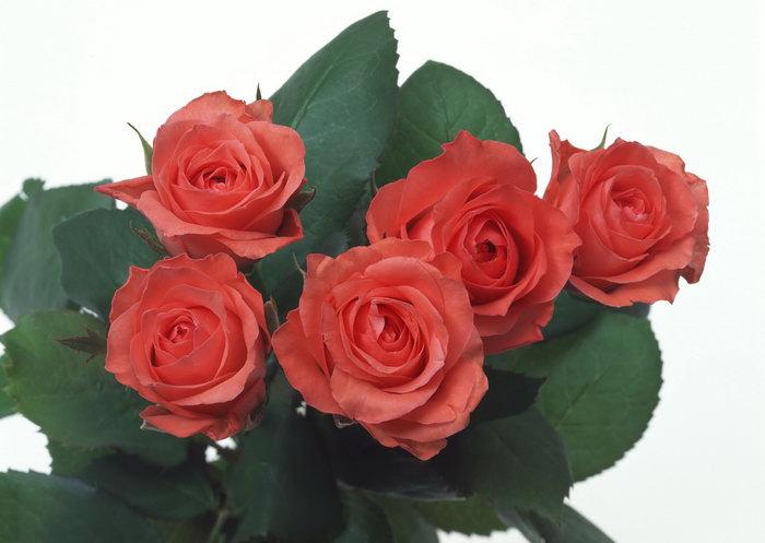 火红玫瑰花图片-素彩图片大全