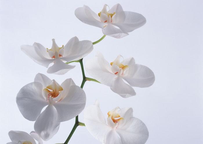 白色蝴蝶兰图片-素彩图片大全