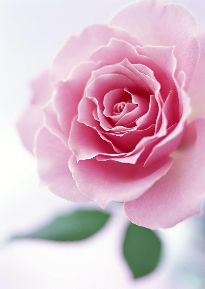 玫瑰花图片-素彩图片大全