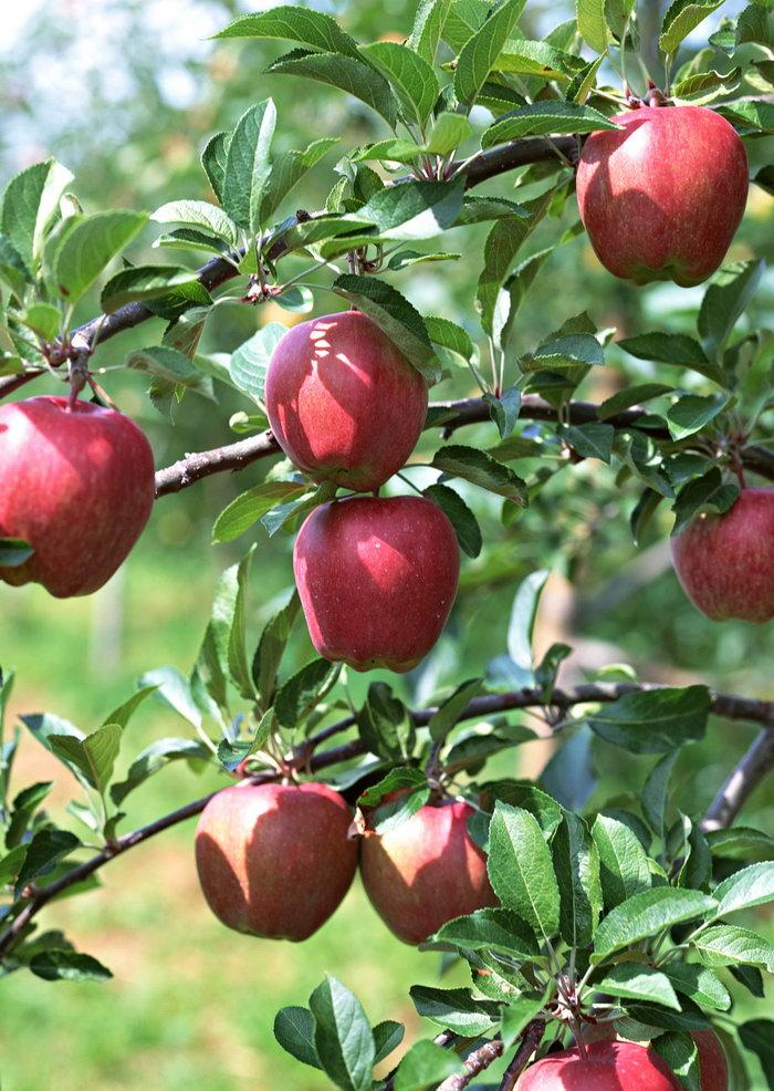 苹果树图片