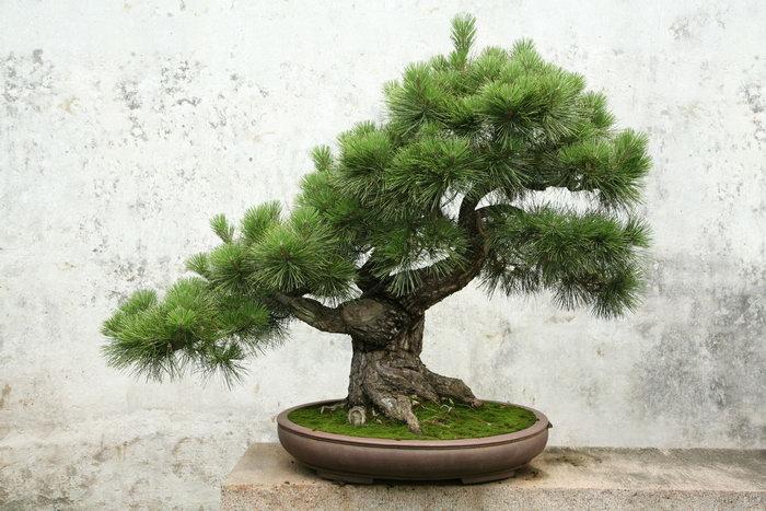 罗汉松树盆栽图片