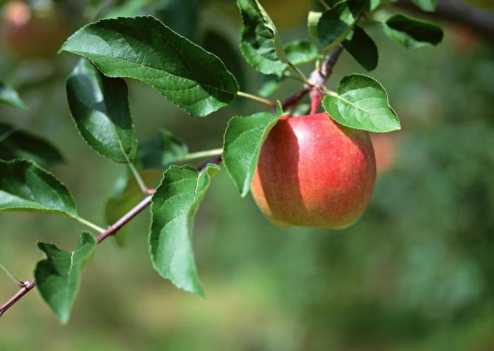 苹果树图片-素彩图片大全