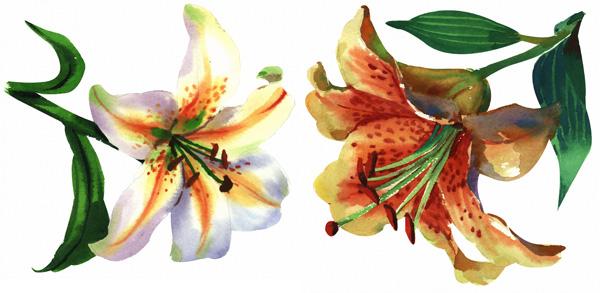 2朵手绘水彩百合花图片