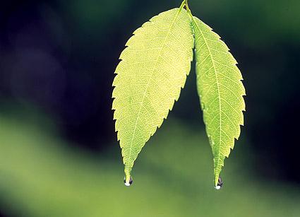 2片带水珠的树叶图片