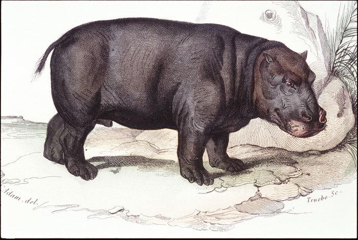 手绘犀牛图片