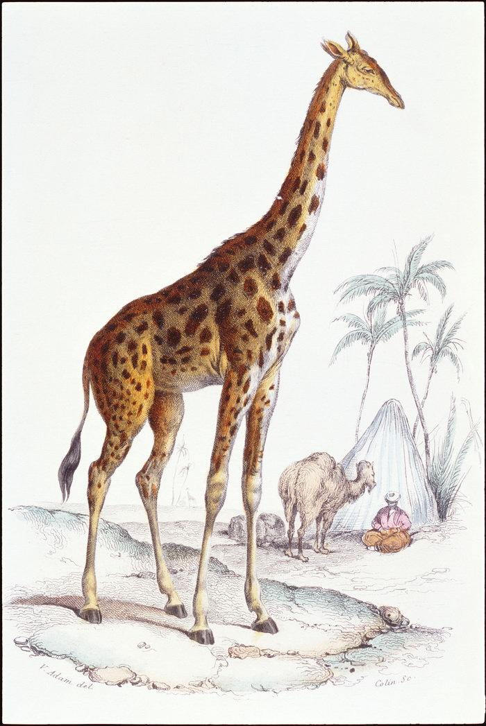 手绘长颈鹿图片-素彩图片大全