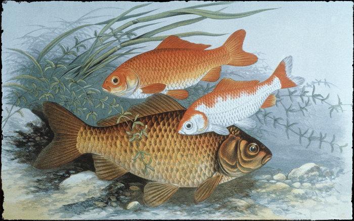 手绘河鱼图片-素彩图片大全