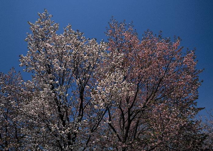 桃花树图片,桃花树,自然美景,风景,2950x2094像素
