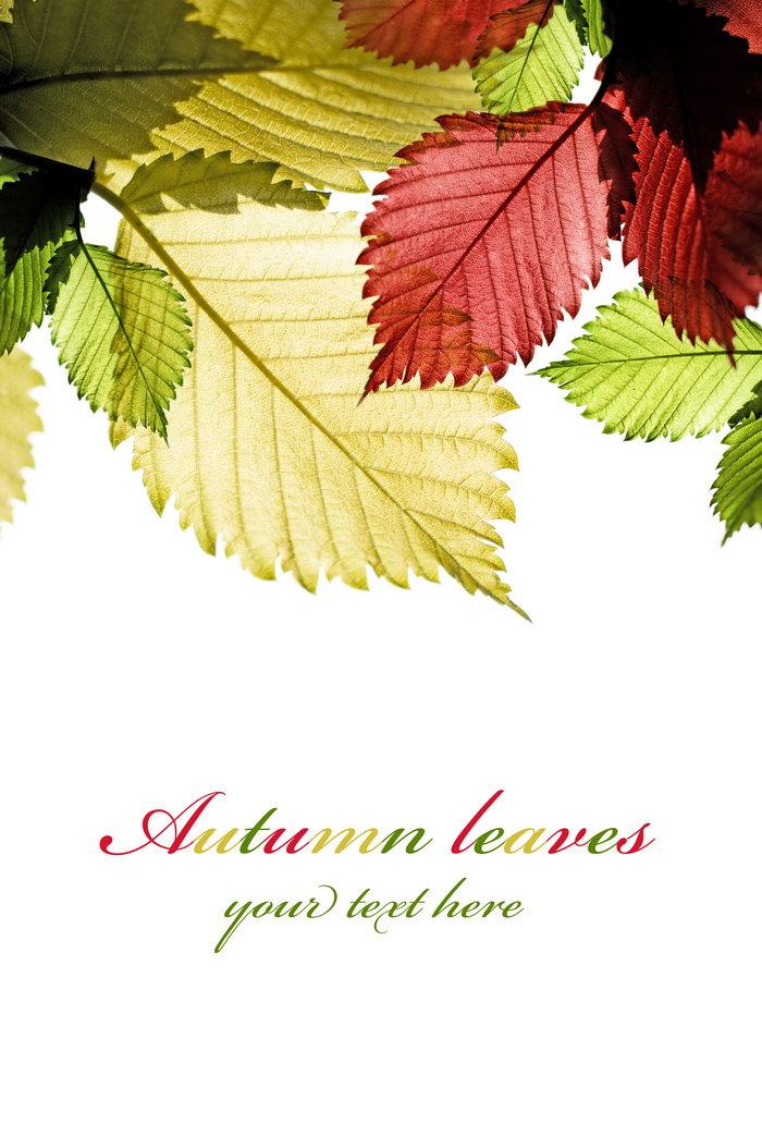 透亮的秋叶图片,透亮的秋叶,枫叶,树叶,秋天,秋季,秋叶,花草树木,摄影