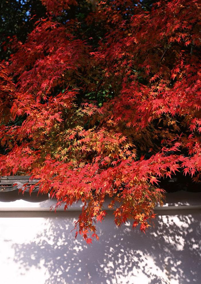 枫叶树图片