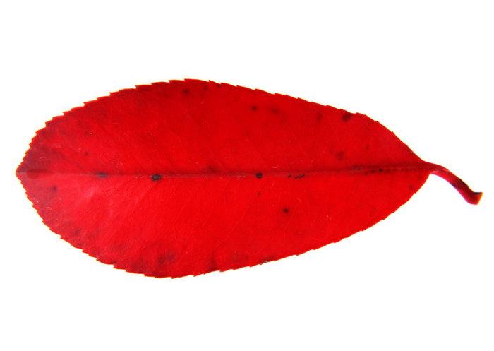 红色叶子图片-素彩图片大全