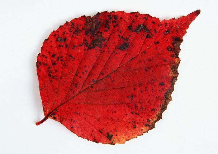 红色树叶图片-素彩图片大全