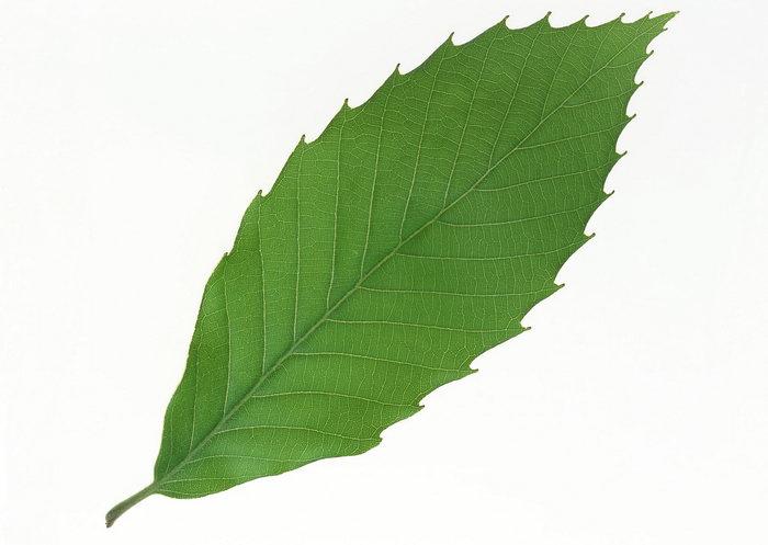 绿色树叶图片-素彩图片大全