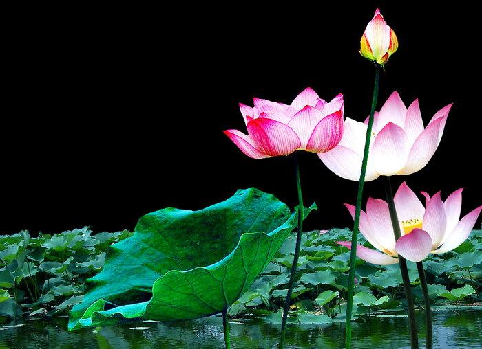 荷花池图片,荷花池,莲花,自然风景,摄影,山水景观设计,4975x3607像素