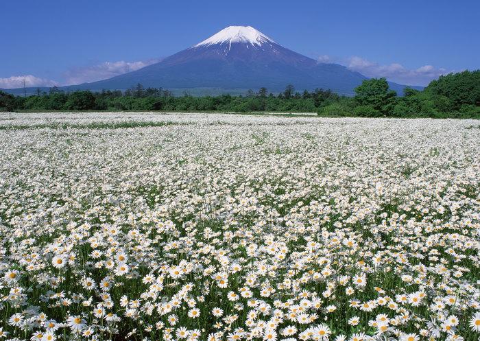 富士山太阳花图片,富士山,太阳花景观,雪山风景,山水,摄影,风景,2950x